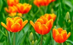 Tulipes oranges inclinées beau par jaune Photo stock