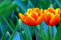 Tulipes oranges inclinées par jaune vibrant photo stock