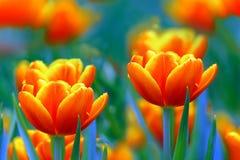 Tulipes oranges inclinées par jaune vibrant image stock