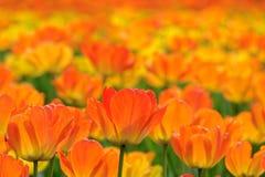 Tulipes oranges images libres de droits