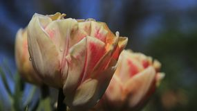 Tulipes oranges roses de bourgeonnement avec des baisses de pluie image libre de droits