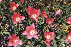 Tulipes ouvertes de rouge parmi les pensées colorées Photo libre de droits