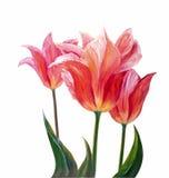 Tulipes, peinture à l'huile illustration de vecteur