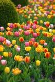 Tulipes pendant des jours Photos stock
