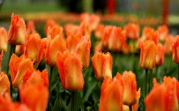 Tulipes pluvieuses photographie stock libre de droits