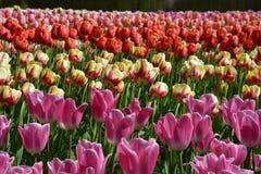 Tulipes pour les yeux image stock