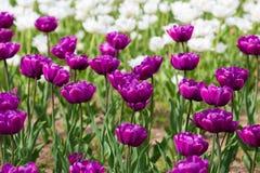 Tulipes pourprées Photo stock