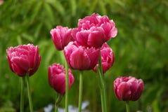 Tulipes pourprées image libre de droits