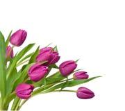 tulipes pourprées de fond blanches Image libre de droits