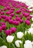 Tulipes pourprées et blanches Image libre de droits