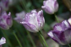 Tulipes pourprées et blanches de source Photos stock