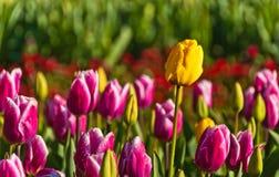 Tulipes pourprées et jaunes image stock