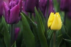 Tulipes pourprées et jaunes Images stock