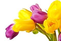 Tulipes pourprées et jaunes de source d'isolement Photo libre de droits