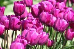Tulipes pourprées Jour d'été parfait Photographie stock libre de droits