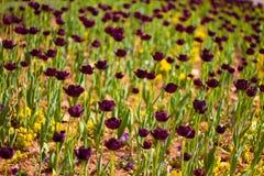 Tulipes pourpres au coucher du soleil Photographie stock libre de droits