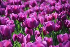 tulipes pourpres au soleil dans les rangées dans un domaine de fleur dans les Oude-pinces photographie stock