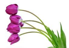 Tulipes pourpres couvertes de rosée image libre de droits