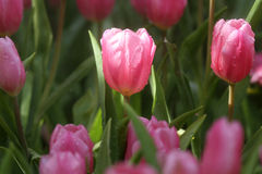Tulipes pourpres et roses Image libre de droits