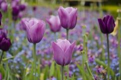 Tulipes pourpres et roses Photo libre de droits