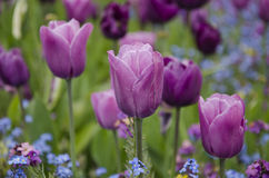 Tulipes pourpres et roses Images stock