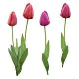 Tulipes pourpres roses rouges réglées Les fleurs sur un blanc ont isolé le fond avec le chemin de coupure closeup Aucune ombres B Photos stock