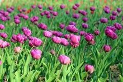 Tulipes pourpres sur le parterre photo libre de droits
