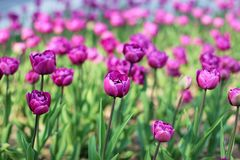 Tulipes pourpres sur le parterre images stock