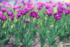 Tulipes pourpres sur le parterre images libres de droits
