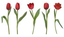 Tulipes réalistes de vecteur Images libres de droits