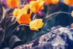 Tulipes rêveuses féeriques magiques avec le bokeh Images stock