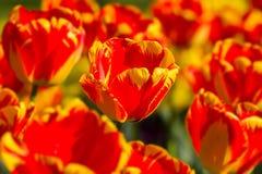 Tulipes rayées de couleur dans le printemps Images stock
