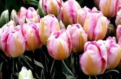 Tulipes rayées de rose et de pêche Photographie stock libre de droits