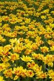 Tulipes repérées par jaune Photos stock