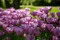 Tulipes rose-clair Images stock