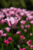 Tulipes rose-clair Photo stock