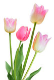 Tulipes roses photographie stock
