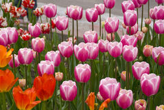 Tulipes roses Images stock
