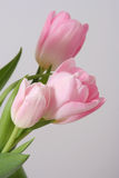 Tulipes roses Image stock
