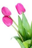 tulipes roses Photo stock