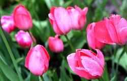 Tulipes roses avec des baisses de pluie Photo libre de droits