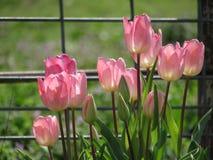 Tulipes roses avec la lueur et la barrière Background de lumière du soleil images libres de droits