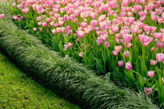 Tulipes roses avec le pensionnaire d'herbe photographie stock