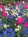 Tulipes roses avec les jonquilles blanches et les petites fleurs bleues photo libre de droits