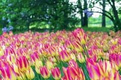 Tulipes roses avec les rayures jaunes dans le jardin de ville images stock
