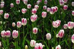 Tulipes roses blanches Images libres de droits