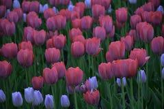 Tulipes roses dans le jardin Image libre de droits