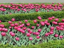 Tulipes roses dans le jardin Photos stock