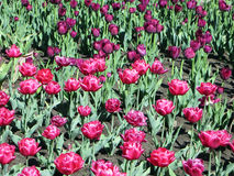 Tulipes roses dans le jardin Photographie stock