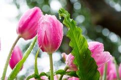 Tulipes roses dans le jardin photos libres de droits